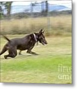 Kelpie Chasing A Ball Metal Print by Christopher Edmunds