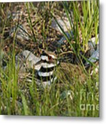 Killdeer Metal Print by Linda Freshwaters Arndt