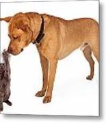 Kitten Batting At Nose Of Large Breed Dog Metal Print by Susan  Schmitz