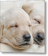 Labrador Retriever Puppies Sleeping  Metal Print by Jennie Marie Schell
