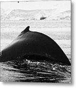 large male Humpback whale with arched back diving in Wilhelmina Bay Antarctica Metal Print by Joe Fox
