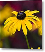 Late Summer Rudbeckia  Metal Print by Tim Gainey