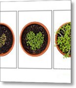 Life Of Cress On White Metal Print by Anne Gilbert