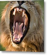 Lion Metal Print by Johan Swanepoel