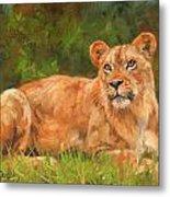 Lioness Metal Print by David Stribbling