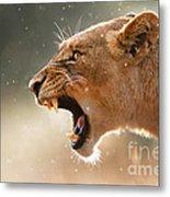 Lioness Displaying Dangerous Teeth In A Rainstorm Metal Print by Johan Swanepoel