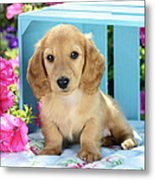 Long Eared Puppy In Front Of Blue Box Metal Print by Greg Cuddiford