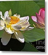 Lotus Pink -- Lotus White And Gold Metal Print by Byron Varvarigos
