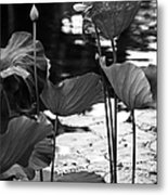 Lotuses In The Pond I. Black And White Metal Print by Jenny Rainbow