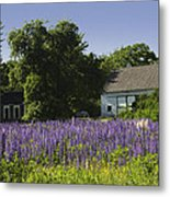 Lupine Flowers Near Round Pond Maine Metal Print by Keith Webber Jr