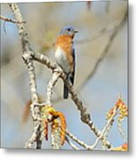 Male Bluebird In Budding Tree Metal Print by Robert Frederick