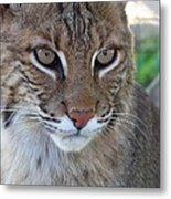 Male Bobcat1 Metal Print by Jennifer  King