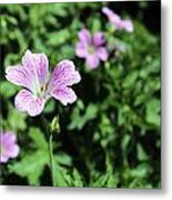 Mallow Cheeses Metal Print by Paul Fell