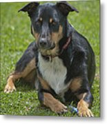 Max Kelpie Border Collie Cross Metal Print by Patrick OConnell