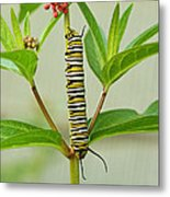 Monarch Caterpillar And Milkweed Metal Print by Steve Augustin