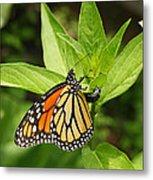 Monarch Egg Time Metal Print by Steve Augustin