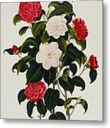 Myrtle Leaved Camellia Metal Print by Clara Maria Pope