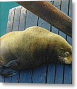 Napping Sea Lion Metal Print by Jeff Swan