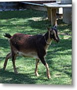 National Zoo - Goat - 01134 Metal Print by DC Photographer