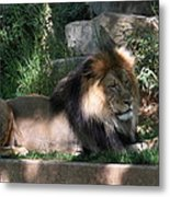 National Zoo - Lion - 011317 Metal Print by DC Photographer