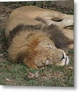 National Zoo - Lion - 12121 Metal Print by DC Photographer