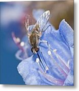 Nemestrinid Fly Feeding Metal Print by Science Photo Library