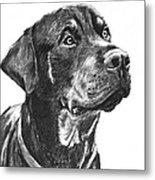 Noble Rottweiler Sketch Metal Print by Kate Sumners