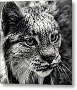 North American Lynx In The Wild. Metal Print by Bob Orsillo