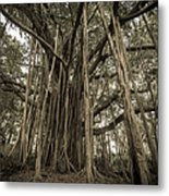 Old Banyan Tree Metal Print by Adam Romanowicz
