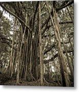 Old Banyan Tree Metal Print by Adam Romanowicz