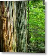 Old Growth Cedars Glacier National Park Painted Metal Print by Rich Franco