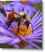 Orange-banded Bee Metal Print by Rona Black