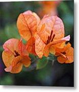 Orange Bougainvillea Metal Print by Rona Black