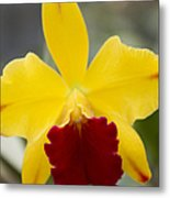 Orchid Beauty - Cattleya - Pot Little Toshie Mini Flares Mericlone Hawaii Metal Print by Sharon Mau