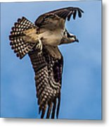 Osprey Flying Away Metal Print by Robert Bales