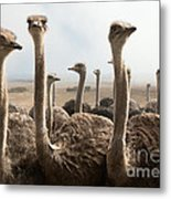 Ostrich Heads Metal Print by Johan Swanepoel