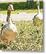 Pair Of Geese Metal Print by Artist and Photographer Laura Wrede