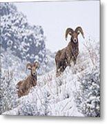 Pair Of Winter Rams Metal Print by Mike  Dawson