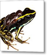 Phyllobates Lugubris With Tadpoles Metal Print by JP Lawrence