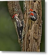 Pilated Woodpecker Family Metal Print by Susan Candelario
