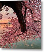 Pink Cherry Blossom Sunrise Metal Print by Metro DC Photography