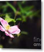 Pink Clematis In Sunlight Metal Print by Jane Rix