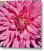Pink Dahlia II Metal Print by Peter French