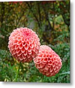 Pink Orange Dahlia Flowers Art Prints Gardens Metal Print by Baslee Troutman