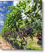 Pinot Noir Grapes In Niagara Metal Print by Charline Xia