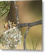 Plumbeous Vireo Begging Arizona Metal Print by Tom Vezo
