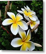 Plumeria In The Sunshine Metal Print by Kaye Menner
