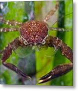 Porcelain Crab On Neptune Grass Metal Print by Science Photo Library