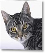 Portrait Of A Grey Tabby Catvancouver Metal Print by Thomas Kitchin & Victoria Hurst