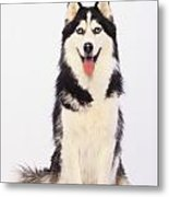 Portrait Of A Siberian Huskybritish Metal Print by Thomas Kitchin & Victoria Hurst